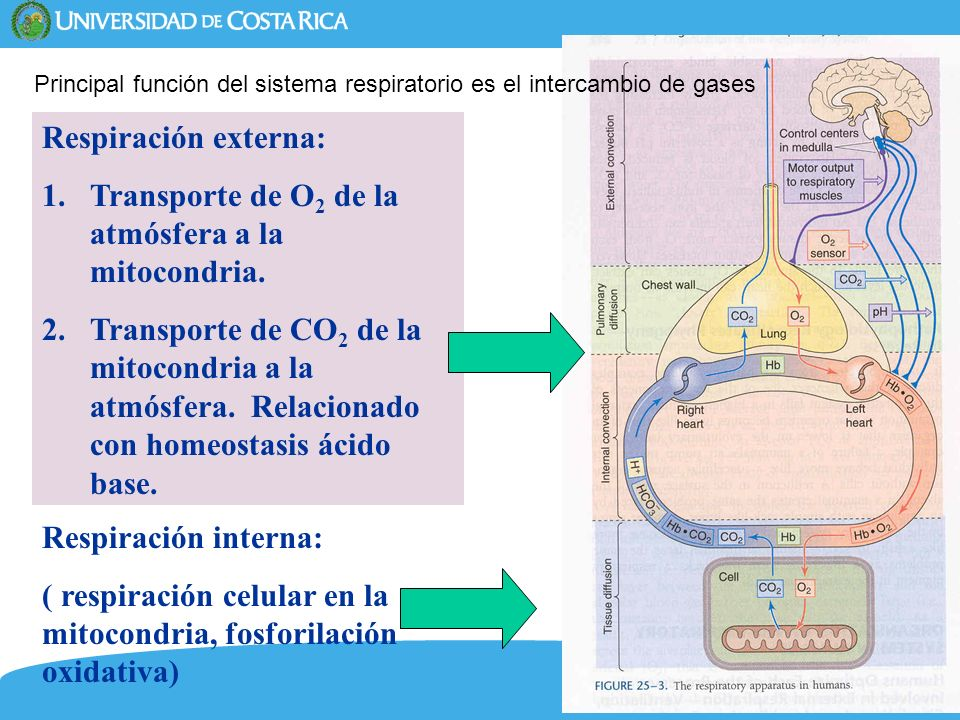 Transporte de O2 de la atmósfera a la mitocondria.