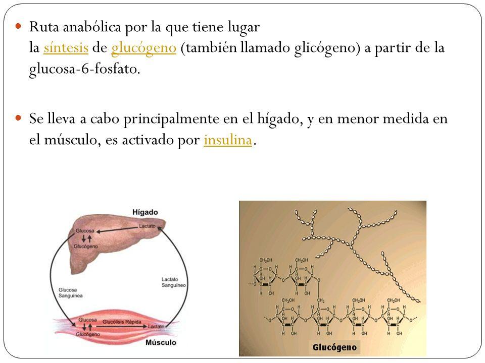 Ruta anabólica por la que tiene lugar la síntesis de glucógeno (también llamado glicógeno) a partir de la glucosa-6-fosfato.