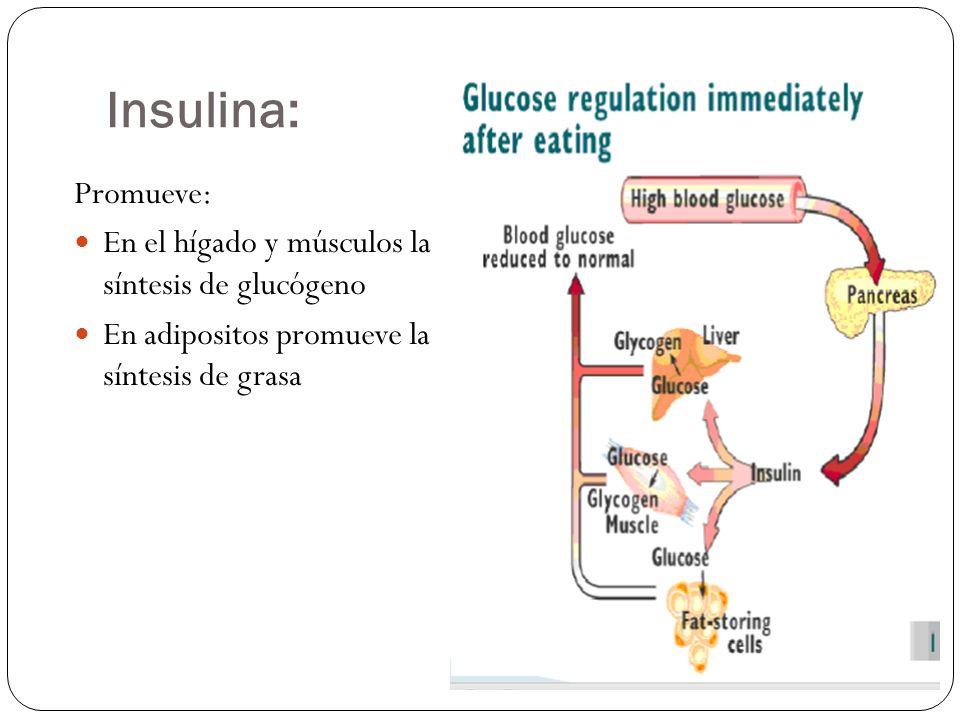 Insulina: Promueve: En el hígado y músculos la síntesis de glucógeno
