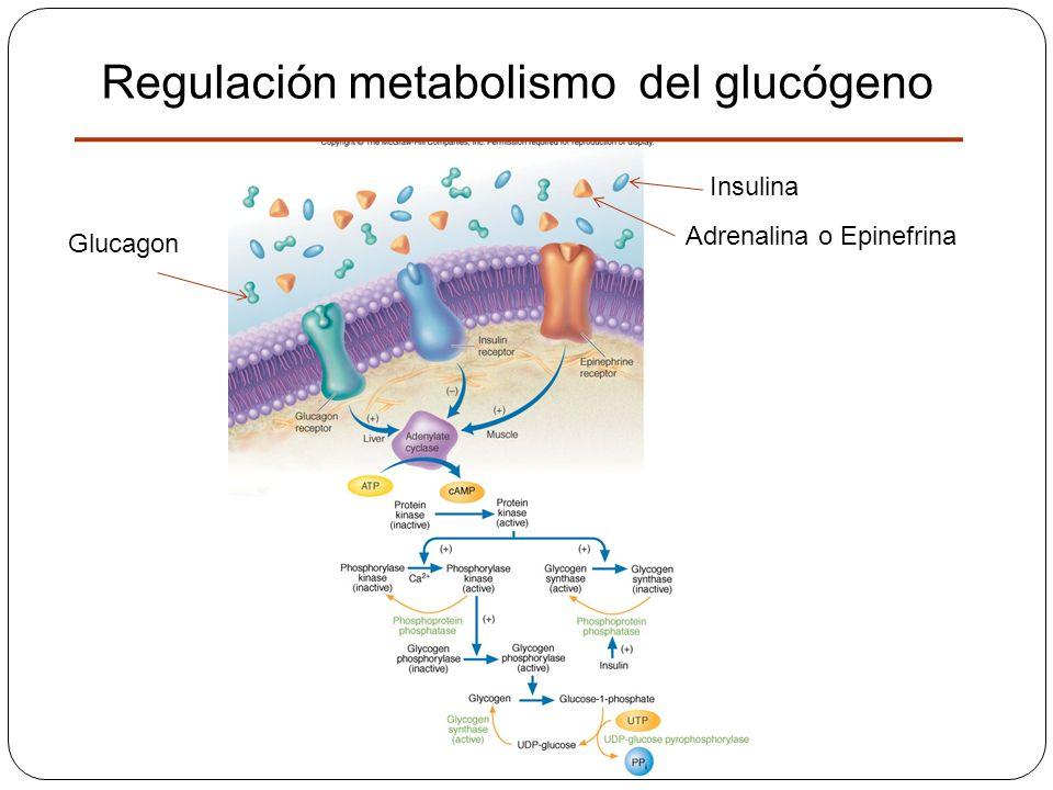 Regulación metabolismo del glucógeno