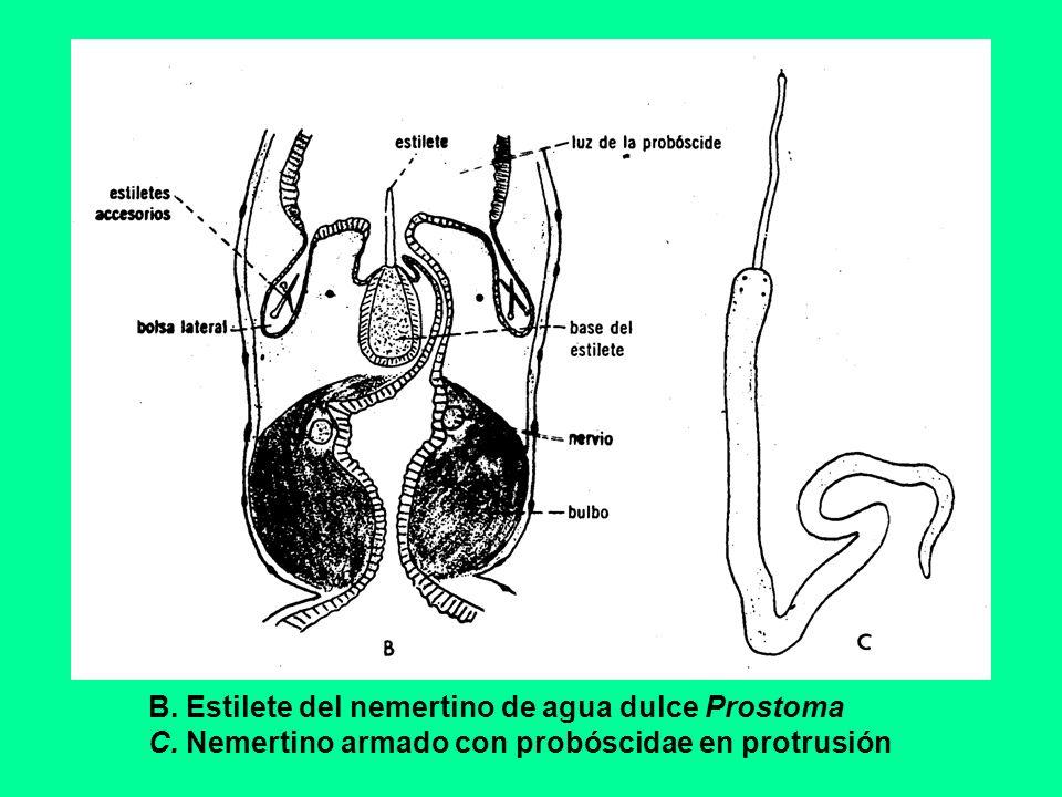 B. Estilete del nemertino de agua dulce Prostoma