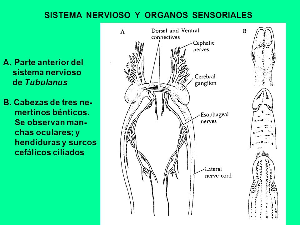 SISTEMA NERVIOSO Y ORGANOS SENSORIALES