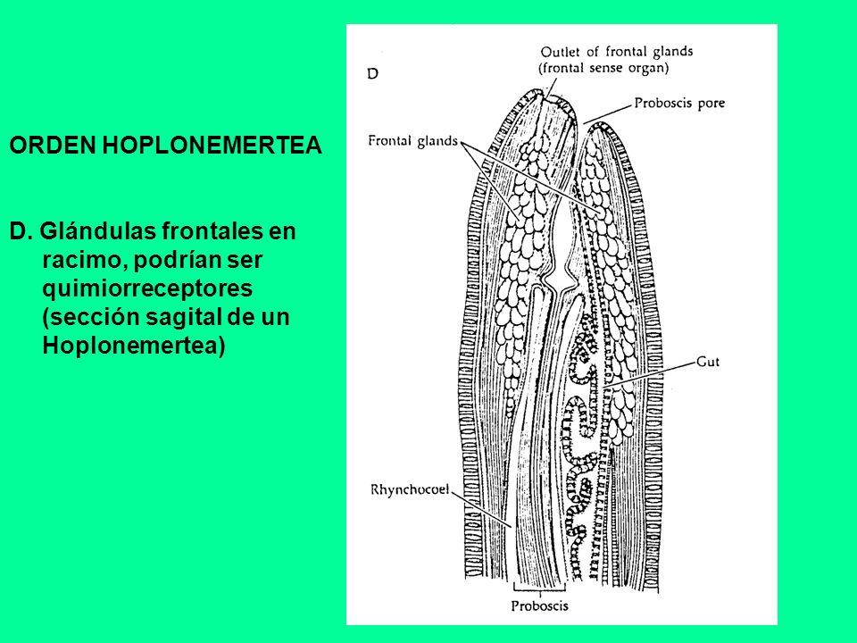 ORDEN HOPLONEMERTEA D. Glándulas frontales en. racimo, podrían ser. quimiorreceptores. (sección sagital de un.