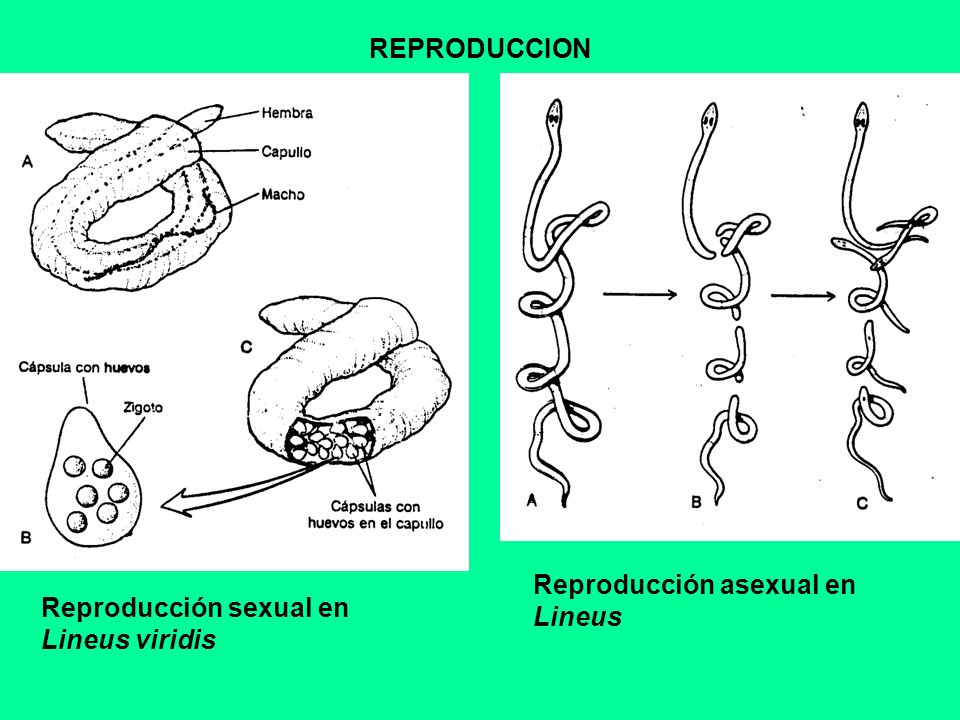 REPRODUCCION Reproducción asexual en Lineus Reproducción sexual en Lineus viridis