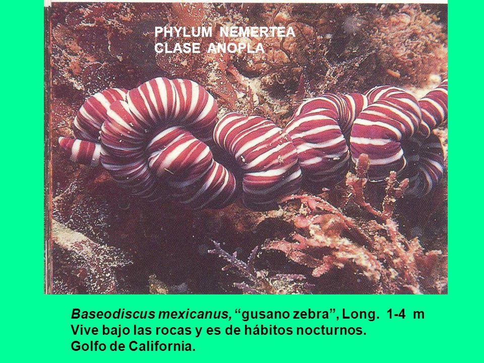 PHYLUM NEMERTEA CLASE ANOPLA. Baseodiscus mexicanus, gusano zebra , Long. 1-4 m. Vive bajo las rocas y es de hábitos nocturnos.