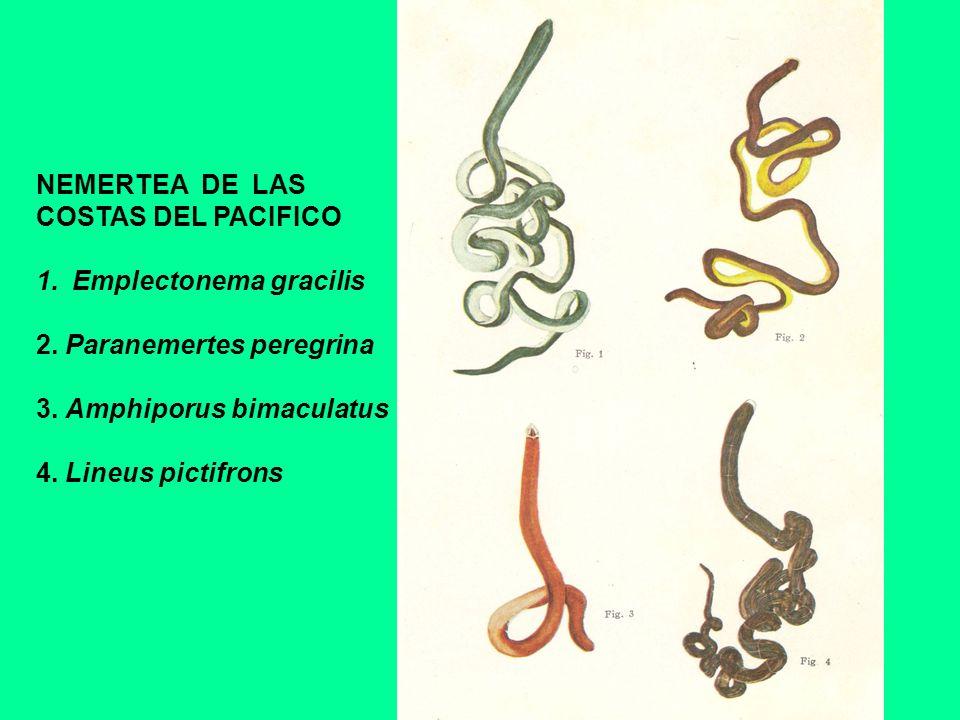 NEMERTEA DE LASCOSTAS DEL PACIFICO. Emplectonema gracilis. 2. Paranemertes peregrina. 3. Amphiporus bimaculatus.