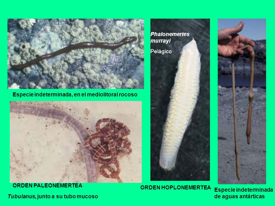 Phalonemertesmurrayi. Pelágico. Especie indeterminada, en el mediolitoral rocoso. ORDEN PALEONEMERTEA.