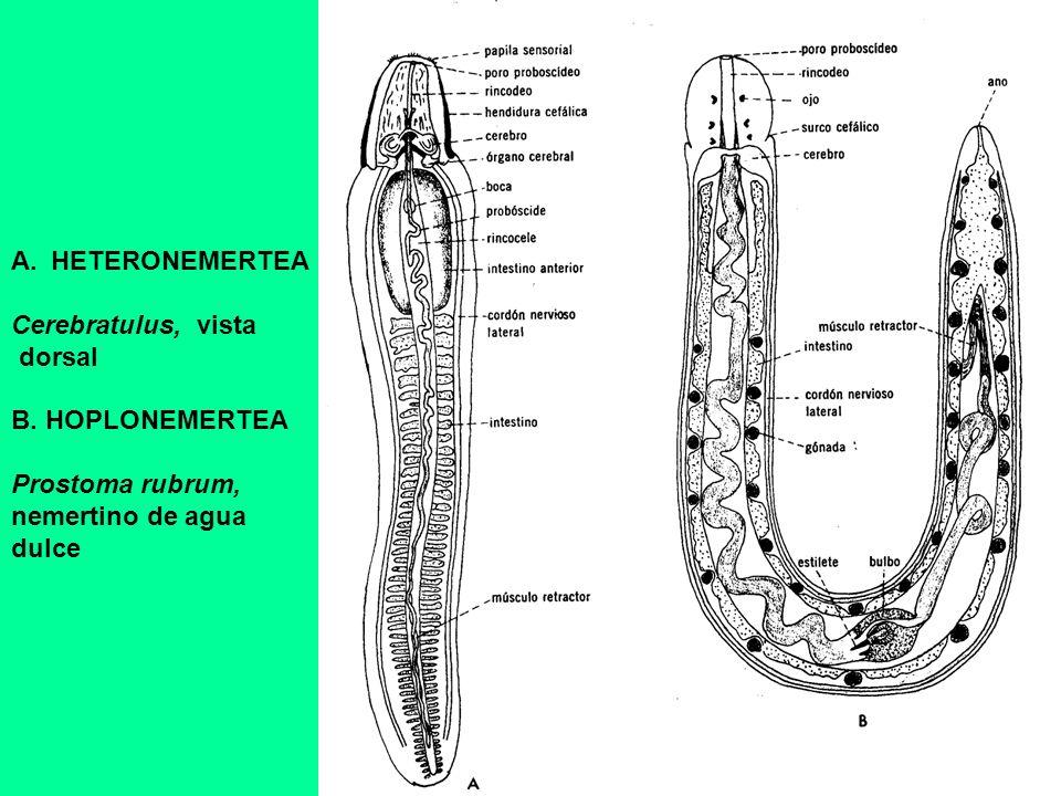 HETERONEMERTEA Cerebratulus, vista. dorsal. B. HOPLONEMERTEA. Prostoma rubrum, nemertino de agua.