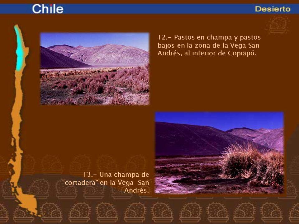 12.- Pastos en champa y pastos bajos en la zona de la Vega San Andrés, al interior de Copiapó.