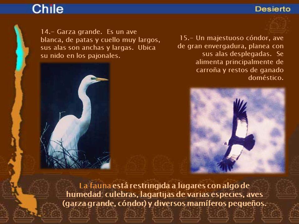 14.- Garza grande. Es un ave blanca, de patas y cuello muy largos, sus alas son anchas y largas. Ubica su nido en los pajonales.