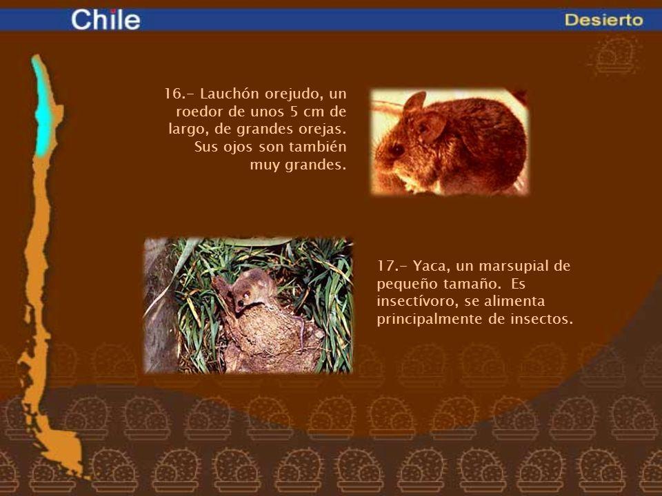 16.- Lauchón orejudo, un roedor de unos 5 cm de largo, de grandes orejas. Sus ojos son también muy grandes.