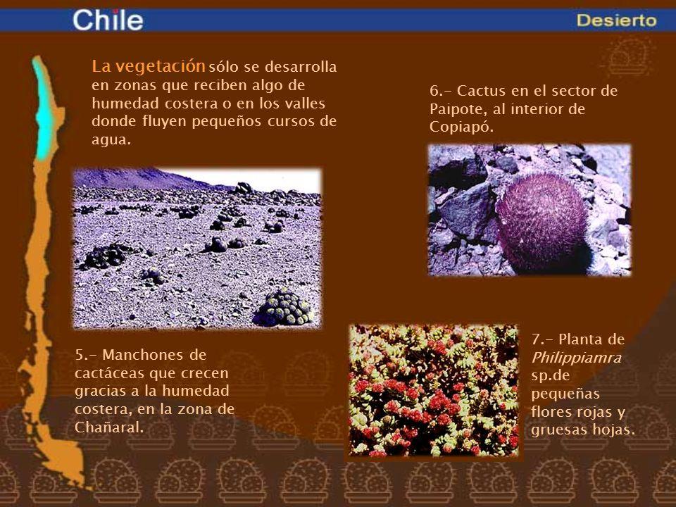 6.- Cactus en el sector de Paipote, al interior de Copiapó.