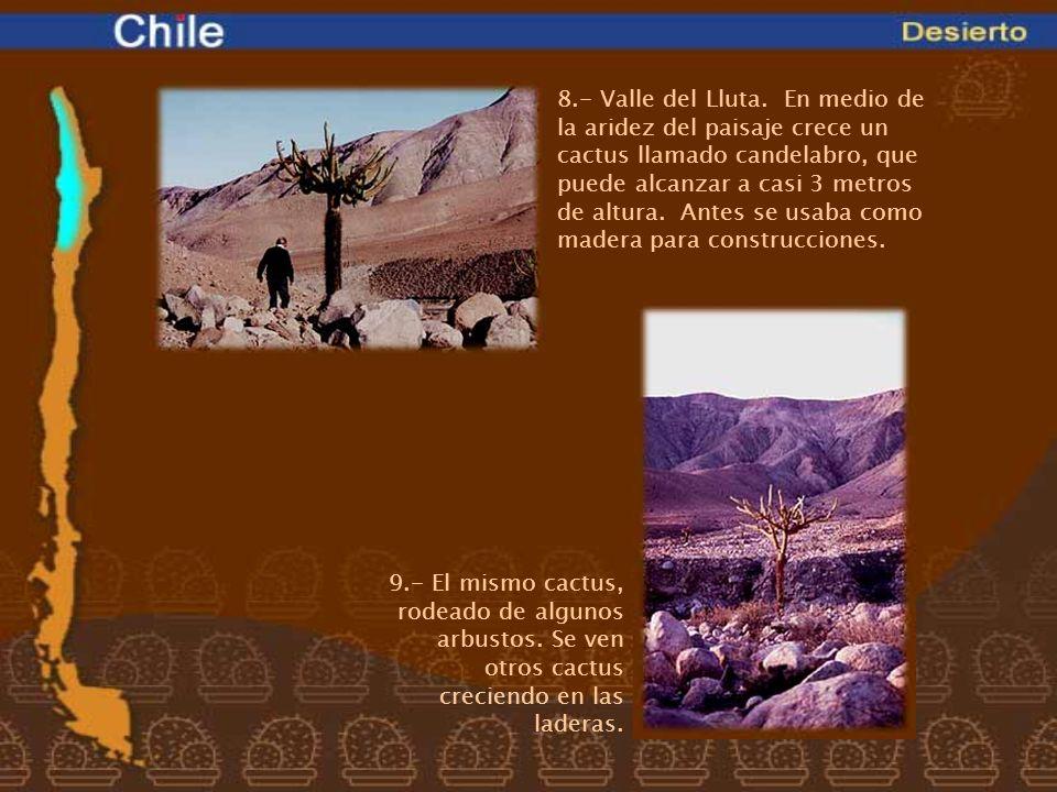 8.- Valle del Lluta. En medio de la aridez del paisaje crece un cactus llamado candelabro, que puede alcanzar a casi 3 metros de altura. Antes se usaba como madera para construcciones.