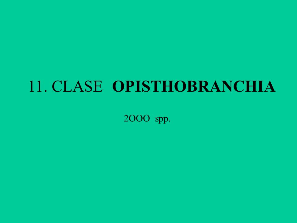 11. CLASE OPISTHOBRANCHIA