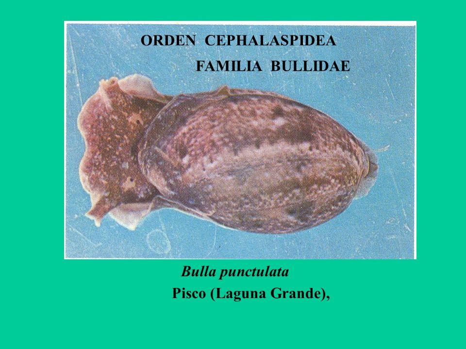 ORDEN CEPHALASPIDEA FAMILIA BULLIDAE Bulla punctulata Pisco (Laguna Grande),