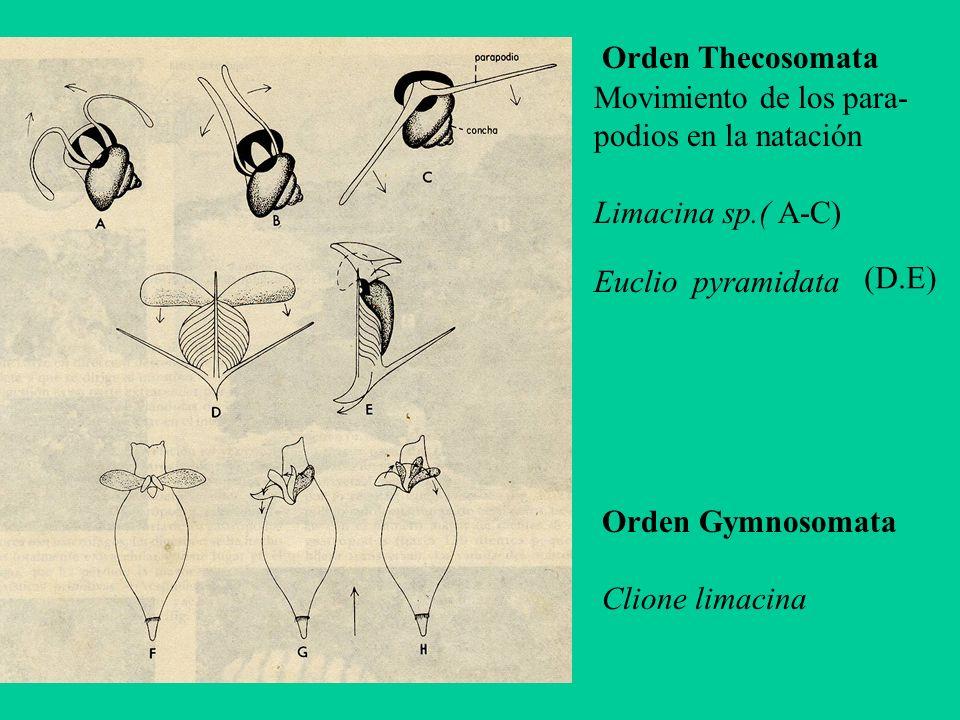 Orden Thecosomata Movimiento de los para- podios en la natación. Limacina sp.( A-C) Euclio pyramidata.