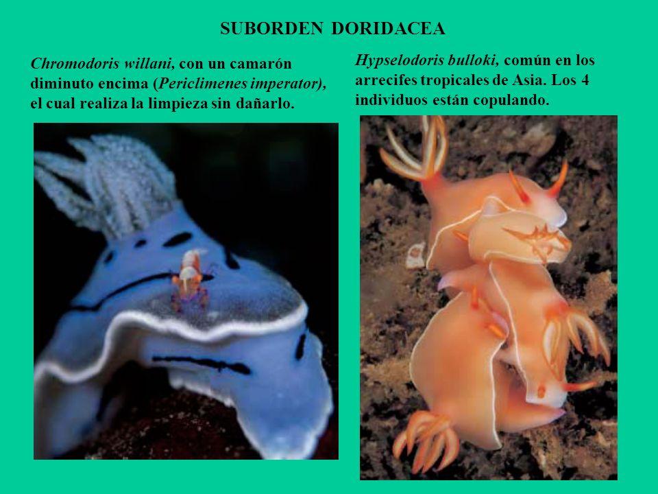 SUBORDEN DORIDACEA Hypselodoris bulloki, común en los