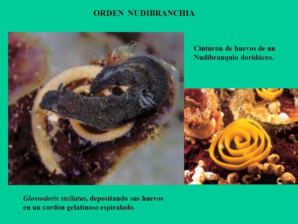 ORDEN NUDIBRANCHIA Cinturón de huevos de un Nudibranquio doridáceo.