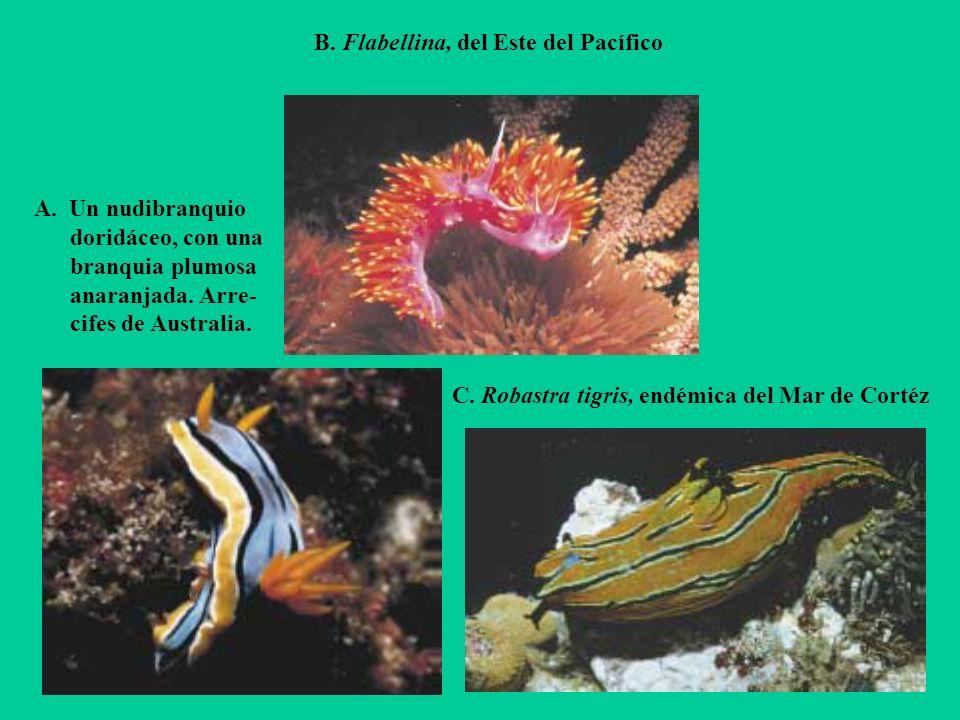 B. Flabellina, del Este del Pacífico