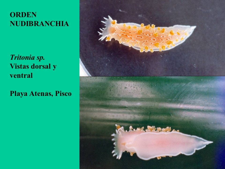 ORDEN NUDIBRANCHIA Tritonia sp. Vistas dorsal y ventral Playa Atenas, Pisco