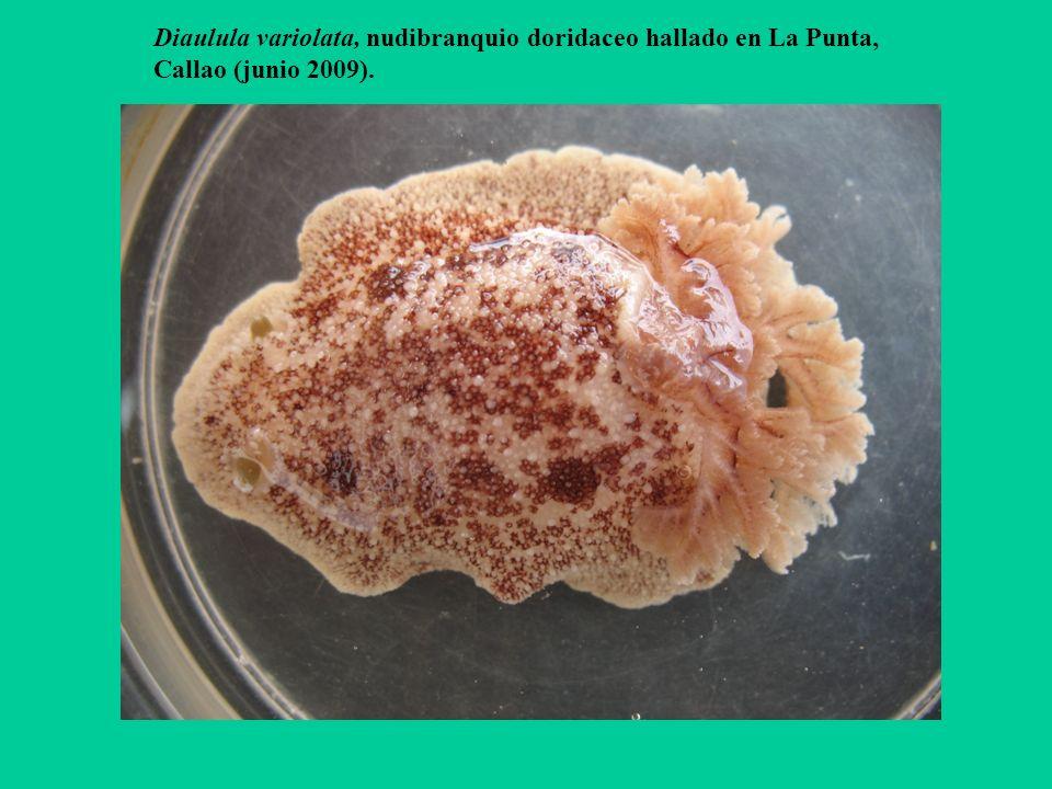 Diaulula variolata, nudibranquio doridaceo hallado en La Punta,