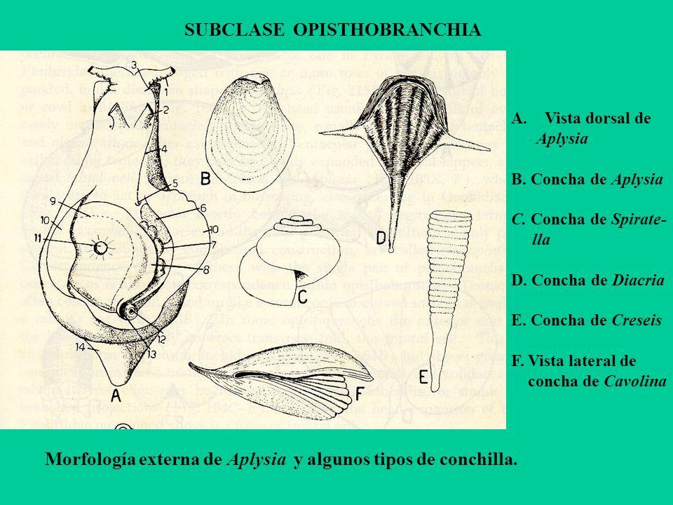 SUBCLASE OPISTHOBRANCHIA