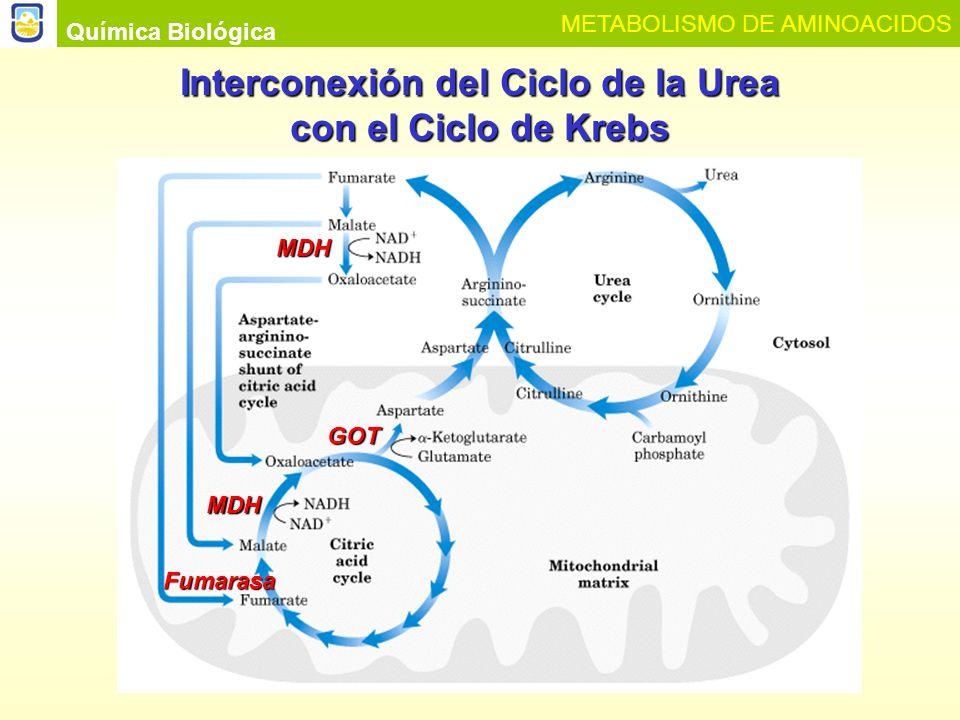 Interconexión del Ciclo de la Urea