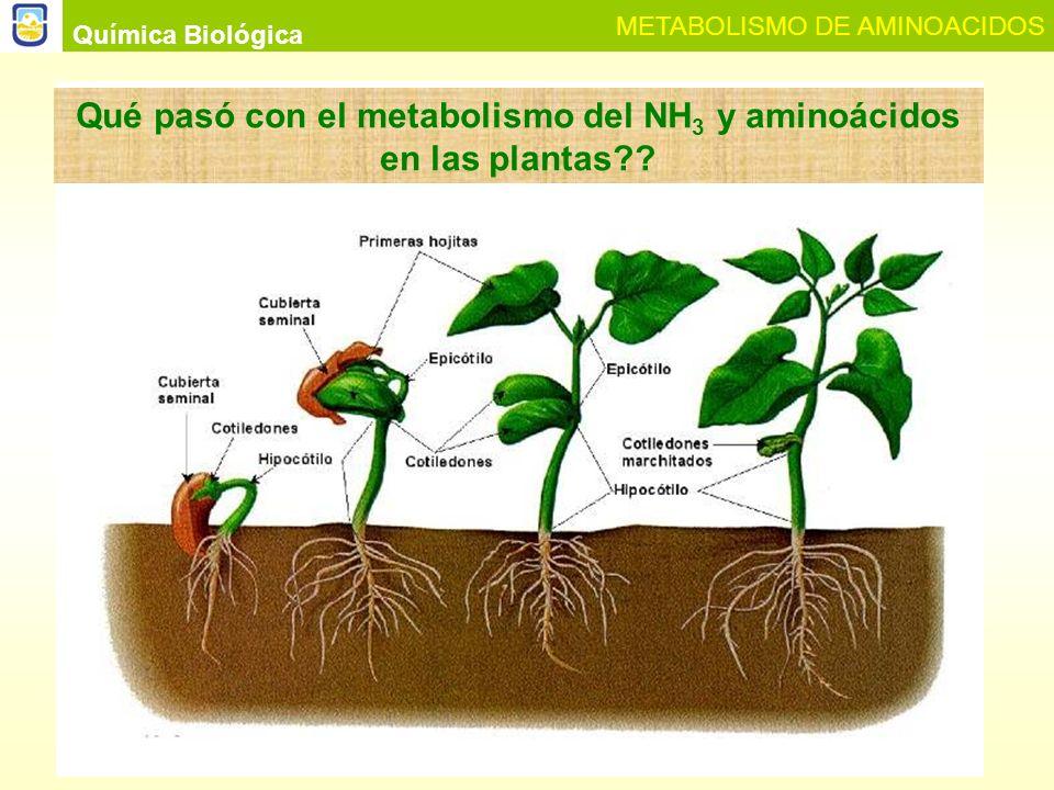 Qué pasó con el metabolismo del NH3 y aminoácidos en las plantas