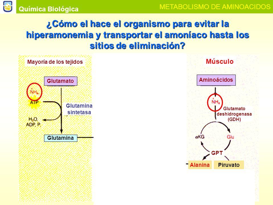 Glutamato deshidrogenasa CICLO GLUCOSA-ALANINA