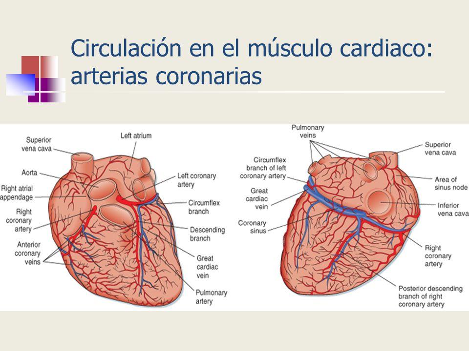 Circulación en el músculo cardiaco: arterias coronarias