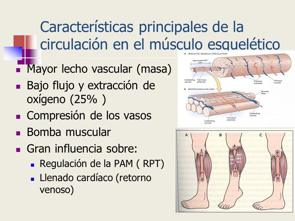 Características principales de la circulación en el músculo esquelético