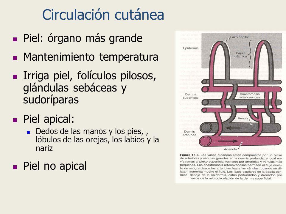 Circulación cutánea Piel: órgano más grande Mantenimiento temperatura