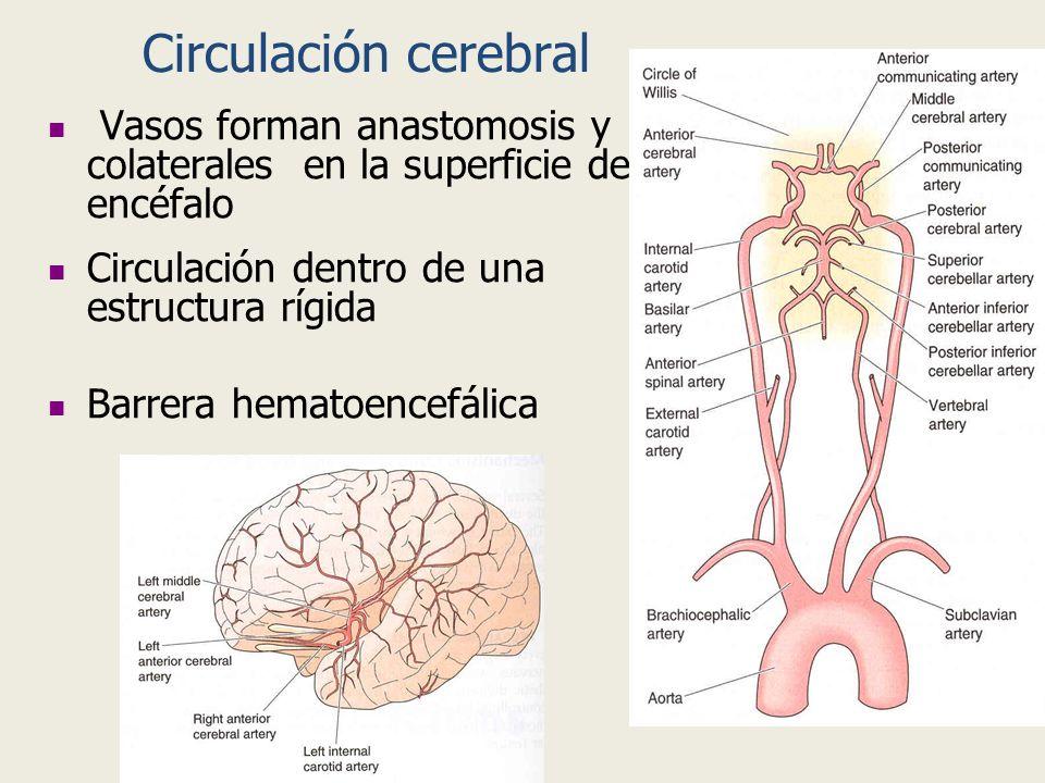 Circulación cerebral Vasos forman anastomosis y colaterales en la superficie del encéfalo. Circulación dentro de una estructura rígida.