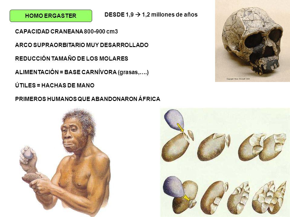 HOMO ERGASTER DESDE 1,9  1,2 millones de años. CAPACIDAD CRANEANA 800-900 cm3. ARCO SUPRAORBITARIO MUY DESARROLLADO.