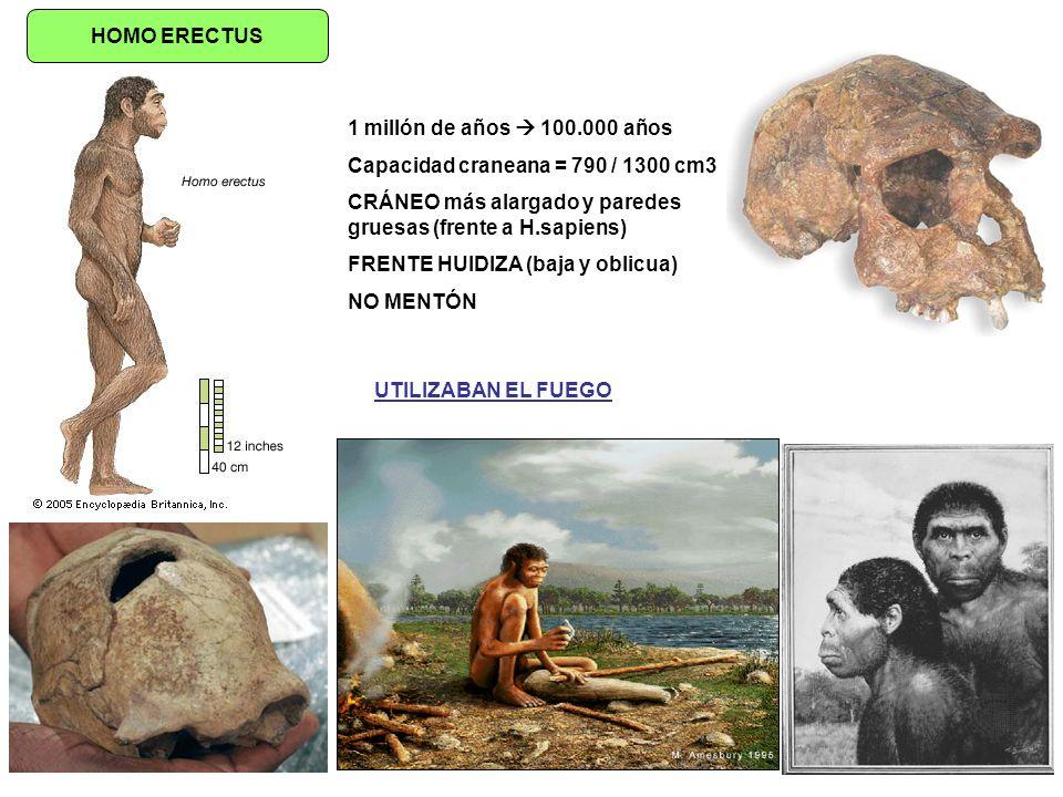 HOMO ERECTUS 1 millón de años  100.000 años. Capacidad craneana = 790 / 1300 cm3. CRÁNEO más alargado y paredes gruesas (frente a H.sapiens)