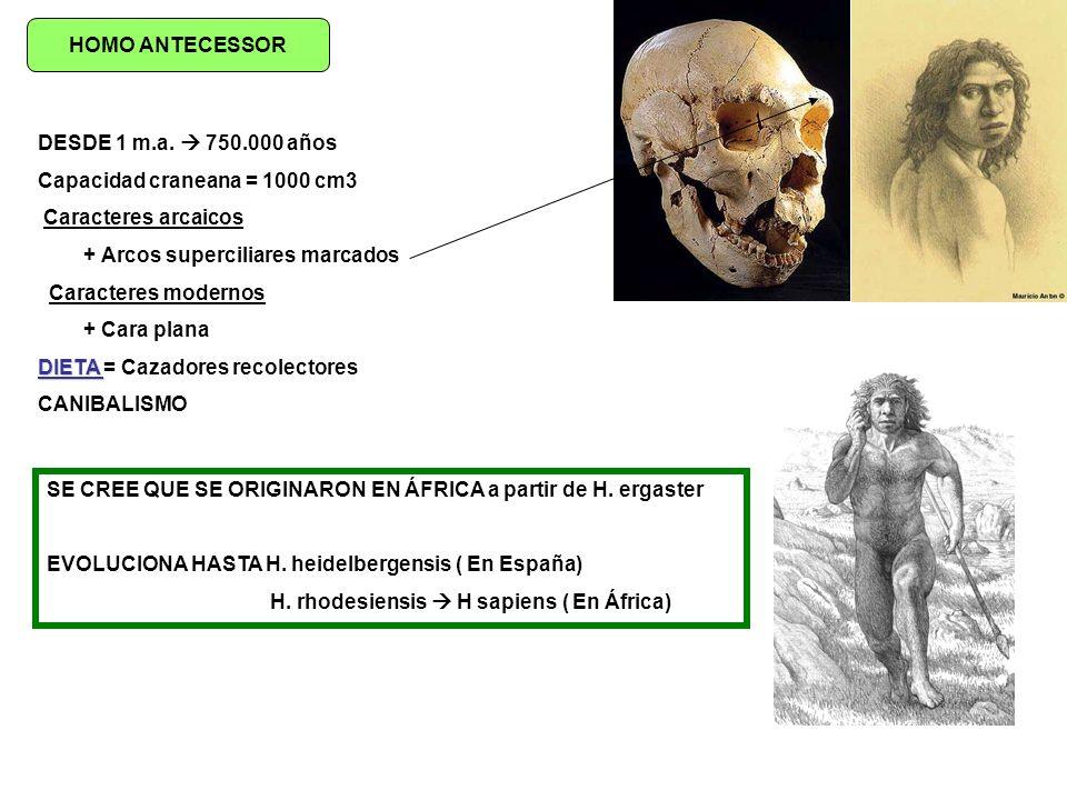 HOMO ANTECESSOR DESDE 1 m.a.  750.000 años. Capacidad craneana = 1000 cm3. Caracteres arcaicos. + Arcos superciliares marcados.