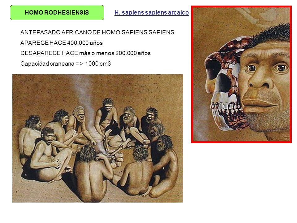 HOMO RODHESIENSIS H. sapiens sapiens arcaico. ANTEPASADO AFRICANO DE HOMO SAPIENS SAPIENS. APARECE HACE 400.000 años.