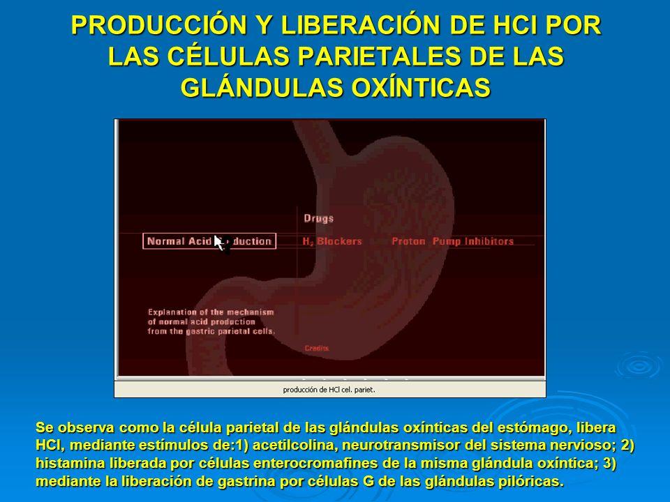 PRODUCCIÓN Y LIBERACIÓN DE HCl POR LAS CÉLULAS PARIETALES DE LAS GLÁNDULAS OXÍNTICAS