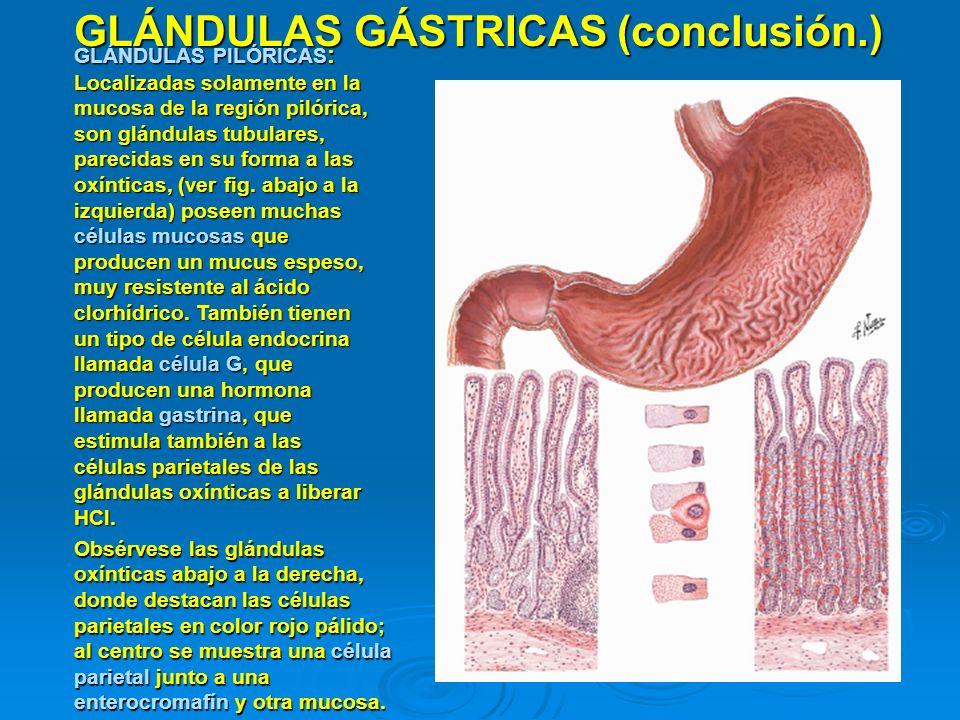 GLÁNDULAS GÁSTRICAS (conclusión.)
