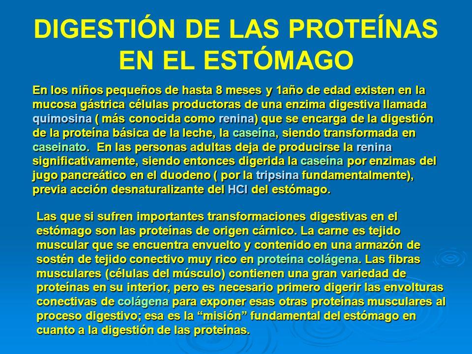DIGESTIÓN DE LAS PROTEÍNAS EN EL ESTÓMAGO