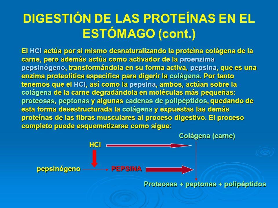 DIGESTIÓN DE LAS PROTEÍNAS EN EL ESTÓMAGO (cont.)