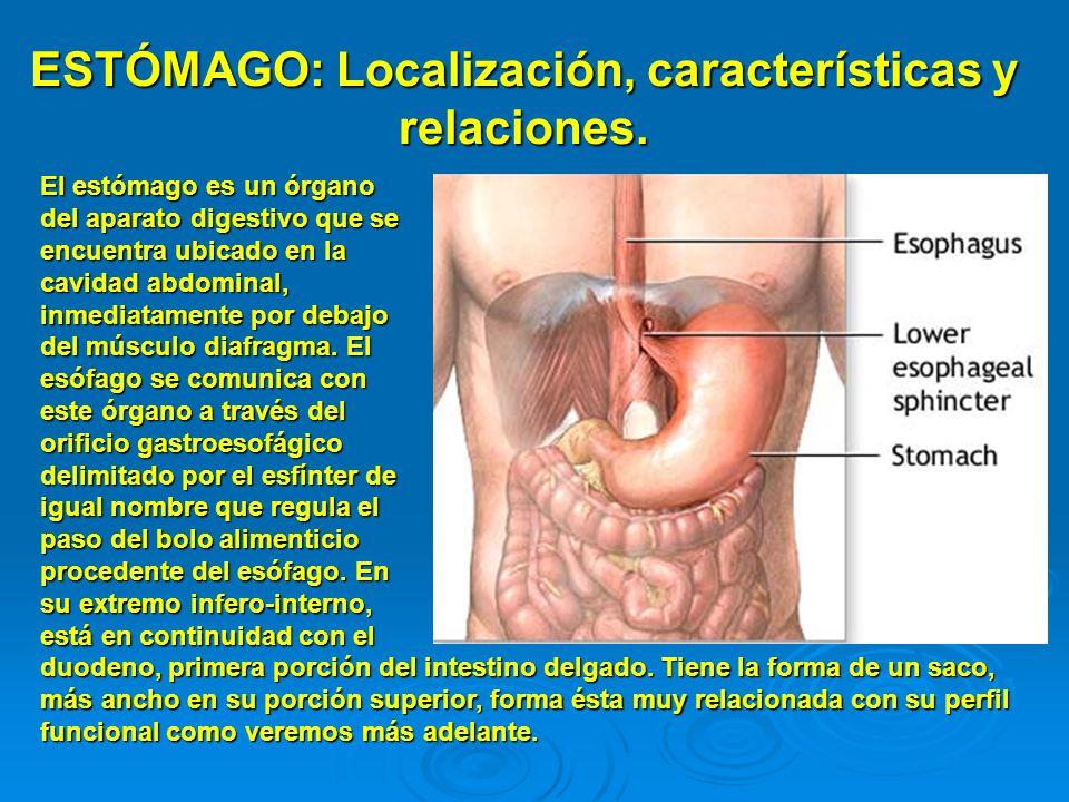 ESTÓMAGO: Localización, características y relaciones.