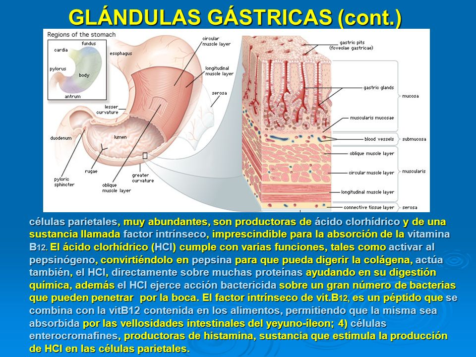 GLÁNDULAS GÁSTRICAS (cont.)