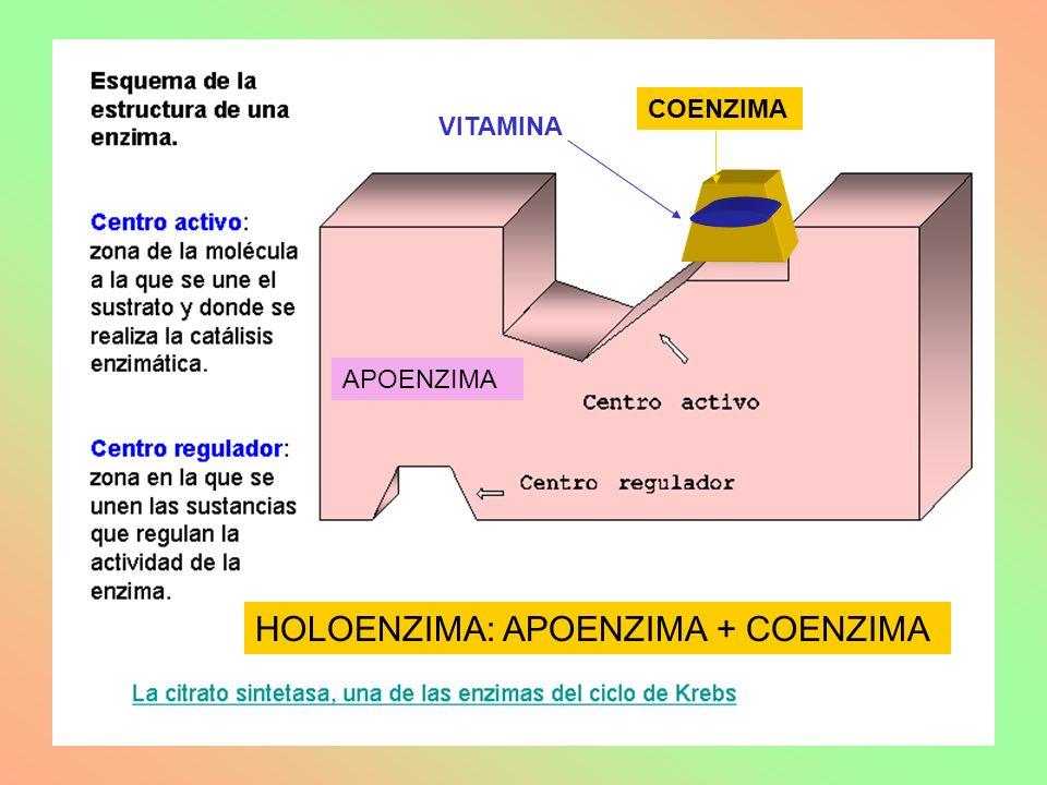 HOLOENZIMA: APOENZIMA + COENZIMA
