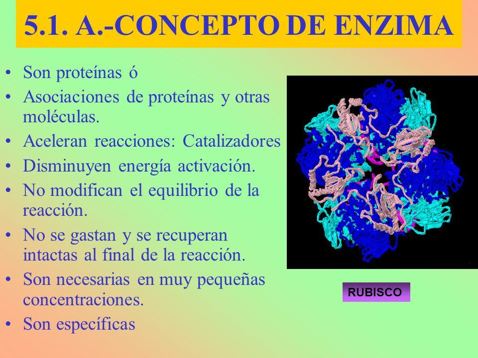 5.1. A.-CONCEPTO DE ENZIMA Son proteínas ó