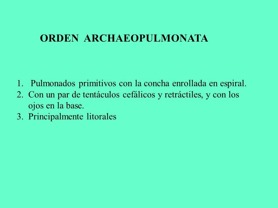 ORDEN ARCHAEOPULMONATA
