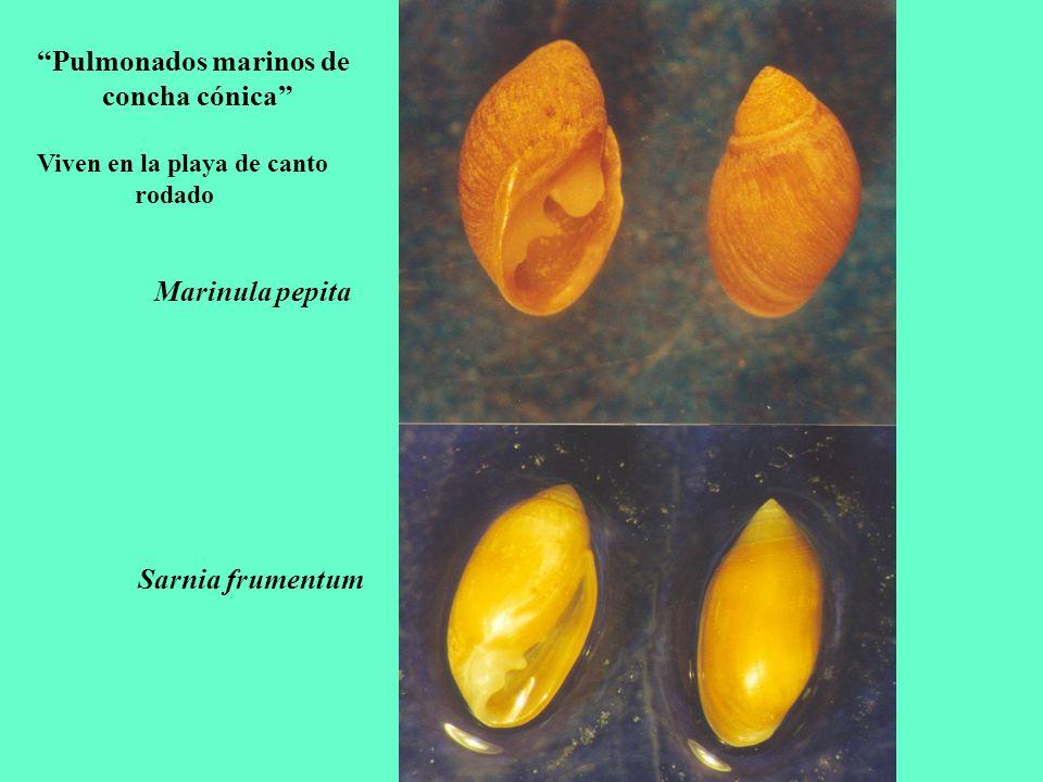 Pulmonados marinos de concha cónica
