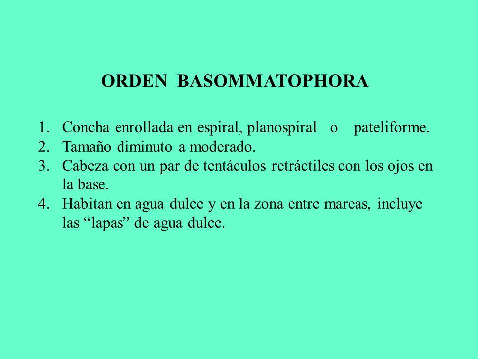ORDEN BASOMMATOPHORA Concha enrollada en espiral, planospiral o pateliforme. Tamaño diminuto a moderado.