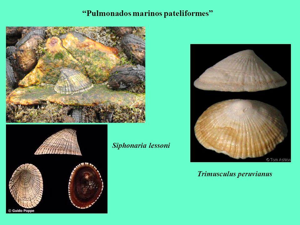 Pulmonados marinos pateliformes