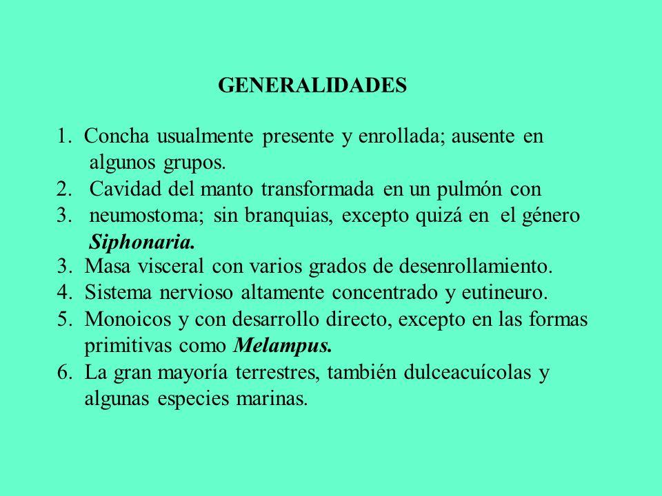 GENERALIDADES 1. Concha usualmente presente y enrollada; ausente en algunos grupos. Cavidad del manto transformada en un pulmón con.